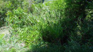 笹、雑木、蔦で埋め尽くされた元の田んぼ