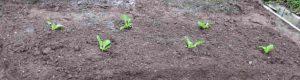 白菜の苗を植えた