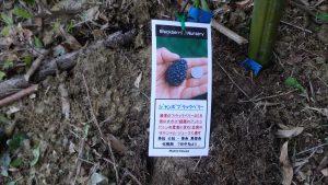 トゲなしブラックベリー ジャンボブラクベリー