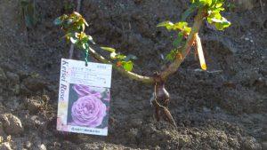 友人にいただいたカインダブルー。濃く深みのある紫の四季咲き。