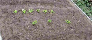 三つ葉6苗(上)とパセリ3苗(下)を植える