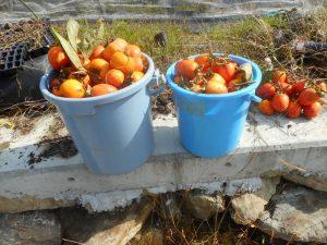 バケツ2杯に渋柿を収穫です