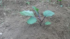 なすを植える