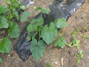キューリーの苗を植えます