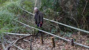 倒した孟宗竹の枝を落としている