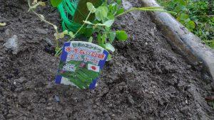 すずなり砂糖エンドウ6苗を植える