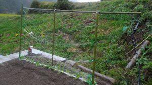 エンドウ豆の棚を作りネット張り苗を植えた