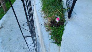 玄関のアーチにからめる赤いトゲなしバラのスムースベルベット