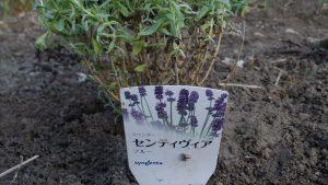 紫いろのラベンダのセンティビア
