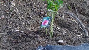 白とピンクのクオーターロゼッタのバラのシーザーを植えた