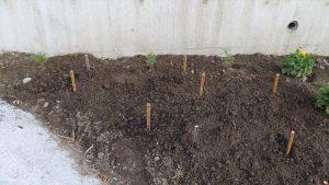 自宅入り口にある花畑に原種系チュリップを植えた